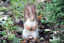 Free Close-up Of Squirrel On Field Royalty Free Stock Images - 95165989