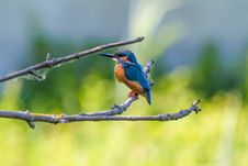 Free Kingfisher Bird On Branch Stock Photos - 95166013