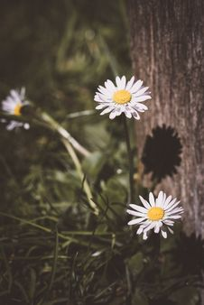 Free Daisies Royalty Free Stock Images - 95166129