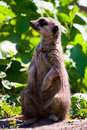 Free Curious Meerkat Royalty Free Stock Photo - 9526165