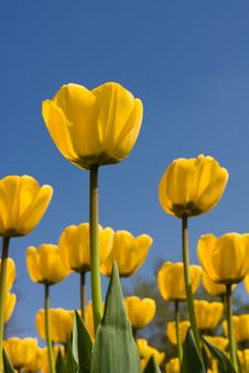 Free Yellow Tulips Royalty Free Stock Photo - 9522105
