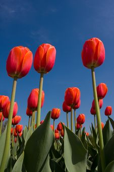 Free Red Tulips Royalty Free Stock Images - 9522199