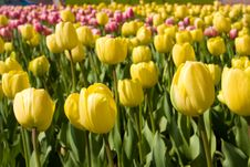Free Tulips Field Royalty Free Stock Images - 9522209