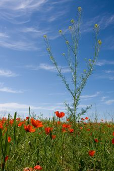 Free Red Poppy Field Stock Photography - 9522952
