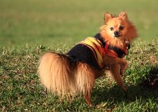 Free Pomeranian Dog In Park, With Cover Stock Image - 9523101