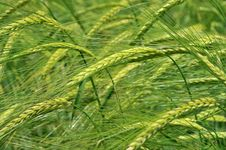 Free Green Wheat Royalty Free Stock Photo - 9525285