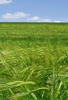 Free Green Wheat Royalty Free Stock Photos - 9525318