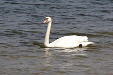 Free Swan Stock Photography - 9525342
