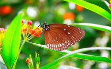 Free Monarch Butterfly. Stock Photo - 9525930