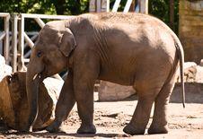 Free Baby Elephant Royalty Free Stock Images - 9525979