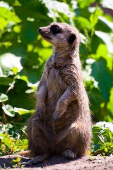 Free Curious Meerkat Royalty Free Stock Photo - 9526165