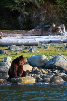 Free Grizzly Bear With Cubs Stock Photography - 9526522