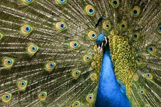 Paradise Bird Peacock Royalty Free Stock Image