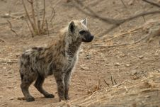 Free Hyena Stock Photos - 9527453