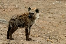 Free Hyena Royalty Free Stock Images - 9527489