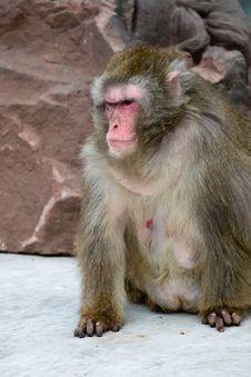 Free Macaca Fuscata Grey Japanese Monkey Stock Images - 9529294