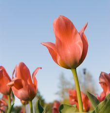 Free Red Tulips Royalty Free Stock Images - 9529829