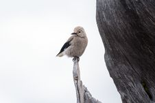 Free Brown And Black Bird Standing On Brown Wooden Tree During Daytime Royalty Free Stock Photos - 95220418