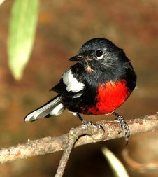 Free Black White Red Chested Bird Perched On Stem Closeup Photography During Daytime Royalty Free Stock Image - 95220796