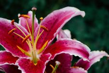 Free Red Lilies Stock Photos - 95271633