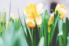 Free Daffodils  Stock Photography - 95271752
