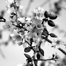 Free Almond Blossom &x28;bw&x29; Stock Photos - 95271773