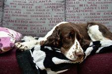 Free Springer Spaniel Dog Royalty Free Stock Image - 95272186