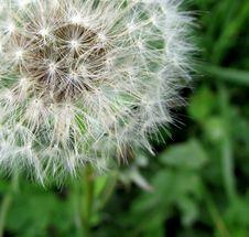 Free Flower, Plant, Dandelion, Flora Stock Photos - 95284093