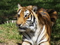 Free Hungry Tiger Stock Photos - 9531333