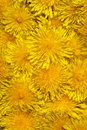 Free Yellow Dandelion Stock Images - 9537104