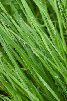 Free Dew Drops On A Green Grass Royalty Free Stock Photo - 9530455