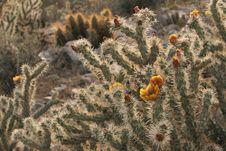 Free Buckhorn Cholla Acanthocarpa Cactus Jumping Desert Stock Images - 9530694