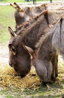 Free Eating Donkeys. Royalty Free Stock Images - 9530799