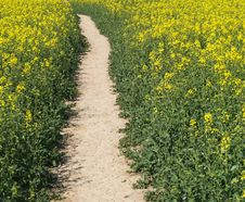 Free Footpath In Cole-seed Field Stock Photography - 9531312