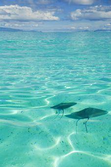 Ray Swimming In Blue Lagoon Stock Photo