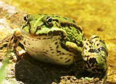 Free Male Grass-frog Stock Photography - 9531822