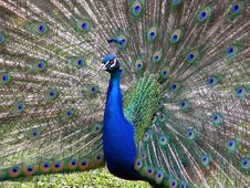 Free Peacock With Feathers Of A Tail Stock Image - 9531991