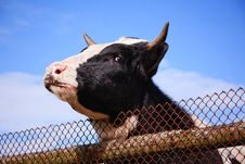 Cow Head Against Blue Sky Royalty Free Stock Photo