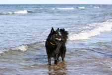 Free Belgium Shepherd Dog Royalty Free Stock Image - 9532336