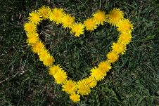 Free Yellow Dandelion Royalty Free Stock Photos - 9537098