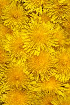 Free Yellow Dandelion Stock Images - 9537104