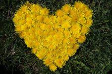Free Yellow Dandelion Royalty Free Stock Photography - 9537107