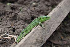 Free Lizard Stock Photo - 9537430