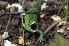 Free Lizard Stock Image - 9537441