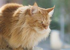 Free Persian Cat Royalty Free Stock Photos - 9538278