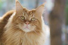 Free Persian Cat Stock Images - 9538314
