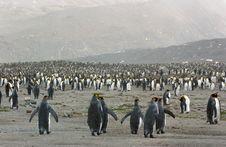 Free King Penguin Royalty Free Stock Photo - 9538665
