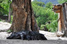 Free Sow Feeding Its Children In Tibet Royalty Free Stock Photos - 9539358