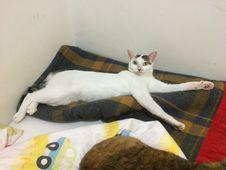Free Cat, Leg, Carnivore, Comfort Stock Photography - 95317742