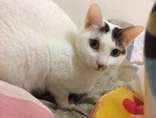 Free Cat, Felidae, Carnivore, Small To Medium-sized Cats Stock Photography - 95317792